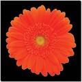 Trademark Global in.Orange Gerber Daisyin. Canvas Art, 18in. x 18in.