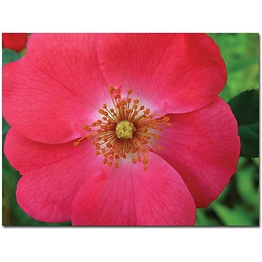 Trademark Global Kathie McCurdy in.Pink Rosein. Canvas Art, 24in. x 32in.