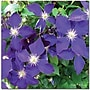 Trademark Global Kathie Mccurdy clematis Canvas Art, 35