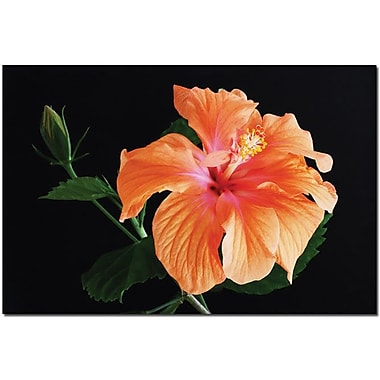 Trademark Global Kurt Shafer in.Hibiscus on blackin. Canvas Art, 16in. x 24in.