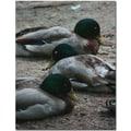 Trademark Global Patty Tuggle in.Duck Slumberin. Canvas Art, 24in. x 18in.