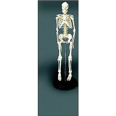 Educational Insights® Human Skeleton Model
