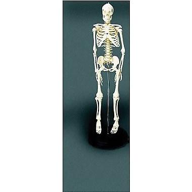 Educational Insights® Human Skeleton Model