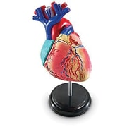 Learning Resources® Heart Anatomy Model