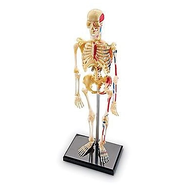 Learning Resources® Human Skeleton Model