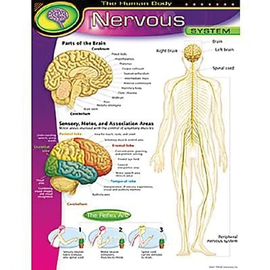 Trend Enterprises® The Human Body Nervous System Learning Chart