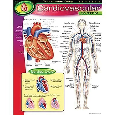 Trend Enterprises® The Human Body Cardiovascular System Learning Chart
