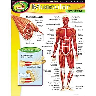 Trend Enterprises® The Human Body Muscular System Learning Chart