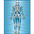 Teacher Created Resources® Skeleton Chart