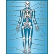Teacher Created Resources® Skeleton Chart