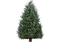 Fresh-Cut Balsam Fir Christmas Tree 5 to 6 Feet, Various Delivery Dates