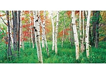 Biggies - Wall Mural-Aspen Grove 80' x 40'