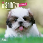 2017 Shih Tzu Puppies Mini 7x7