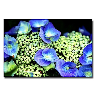 Trademark Fine Art Ariane Moshayedi 'Hydrangea' Canvas Art 16x24 Inches