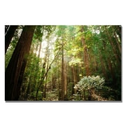 Trademark Fine Art Ariane Moshayedi 'Muir Woods' Canvas Art