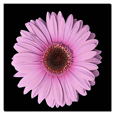 Trademark Fine Art Pink Gerber Daisy-Ready to Hang Canvas Art 14x14 Inches