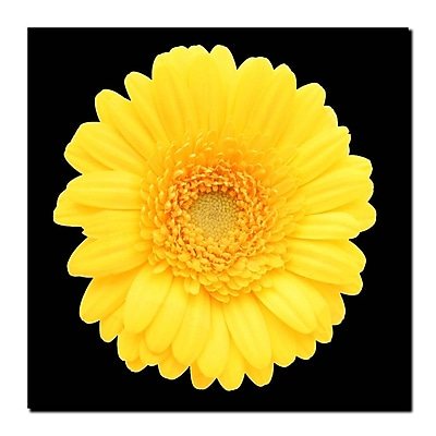 Trademark Fine Art Yellow Gerber Daisy-Ready to Hang Canvas Art 14x14 Inches
