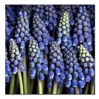 Trademark Fine Art Grape Hyacinth by AIANA-Canvas Art Ready to Hang 35x35 Inches