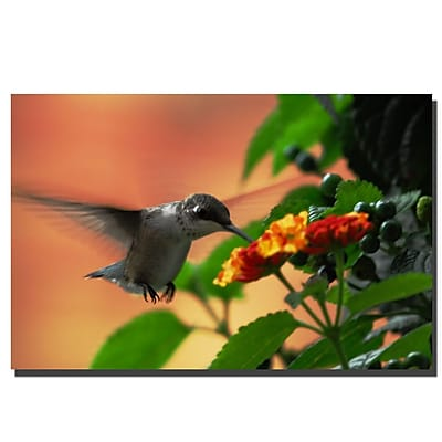Trademark Fine Art Hungry Hummingbird by Kurt Shaffer Canvas Art 16x24 Inches