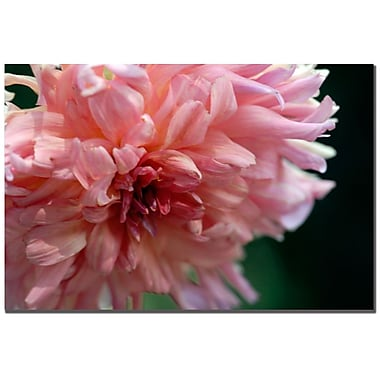Trademark Fine Art Kurt Shaffer 'Pink Dhalia' Canvas Art 24x32 Inches