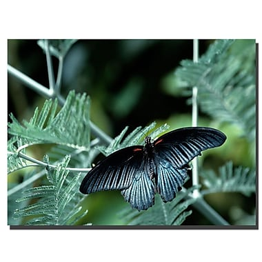 Trademark Fine Art Tropical Butterfly by Kurt shaffer-Gallery Wrapped 24x32 Inches