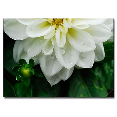 Trademark Fine Art White Dahlia by Kurt Shaffer-Gallery Wrapped 14x19 Inches