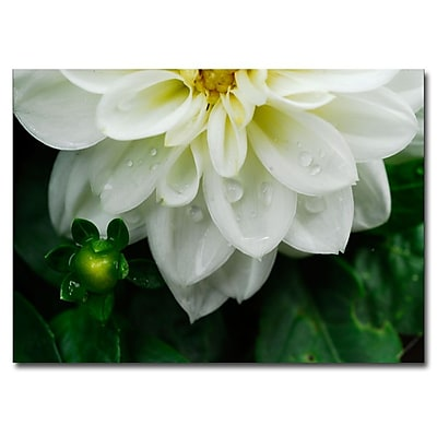 Trademark Fine Art White Dahlia by Kurt Shaffer-Ready to hang Gallery Wrapped 24x32 Inches
