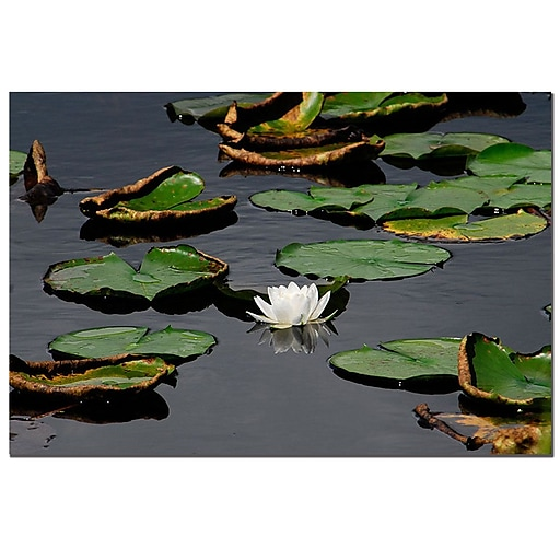 Trademark  Fine  Art White lily by Kurt shaffer-Gallery Wrapped 24x32 Inches