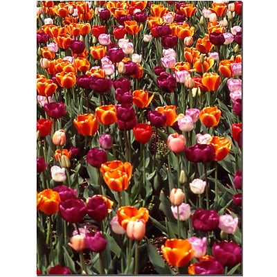 Trademark Fine Art Multi-Colored Tulips by Kurt Shaffer-Gallery Wrapped 24x32 Inches