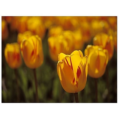 Trademark Fine Art Kurt Shaffer 'Tulips on Fire' Canvas Art 14x19 Inches
