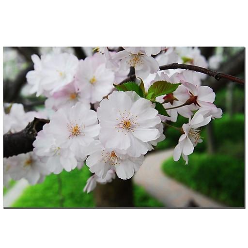 Trademark Fine Art Cherry Blossom by Kurt Shaffer-Gallery Wrapped