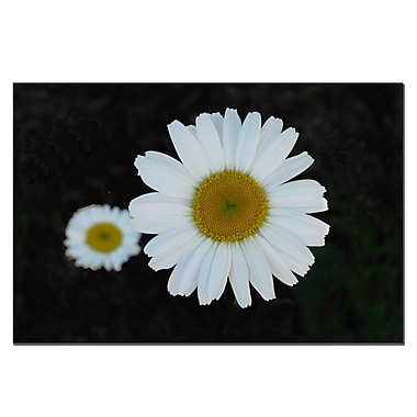 Trademark Fine Art Daisies on Black by Kurt Shaffer Canvas Ready to Hang 22x32 Inches