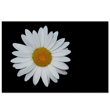 Trademark Fine Art Daisy on Black by Kurt Shaffer-Gallery Wrapped
