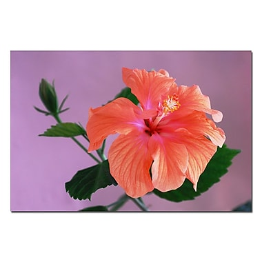 Trademark Fine Art Peach Hibiscus by Kurt Shaffer-Gallery Wrapped