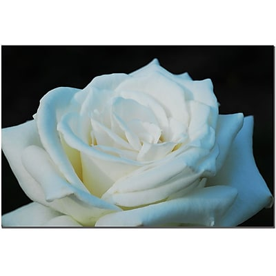 Trademark Fine Art White Rose Beauty 2 by Kurt Shaffer Art Ready to Hang