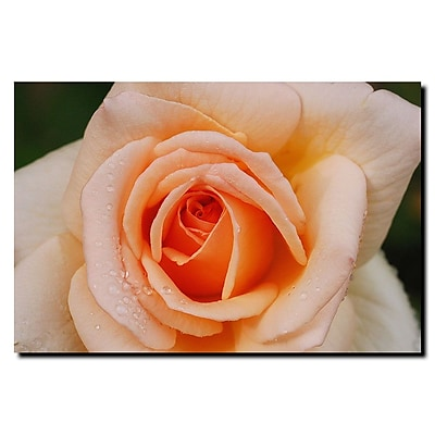 Trademark Fine Art Early Morning Rose by Kurt Shaffer-Wrapped Canvas 24x32 Inches
