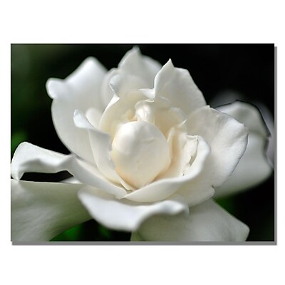 Trademark Fine Art Kurt Shaffer 'Lovely Gardenia' Canvas Art 18x24 Inches