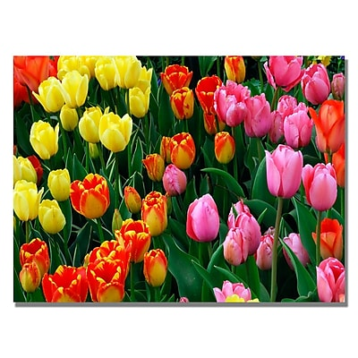 Trademark Fine Art Kurt Shaffer 'Multi-Colored Tulips' Canvas Art 30x47 Inches