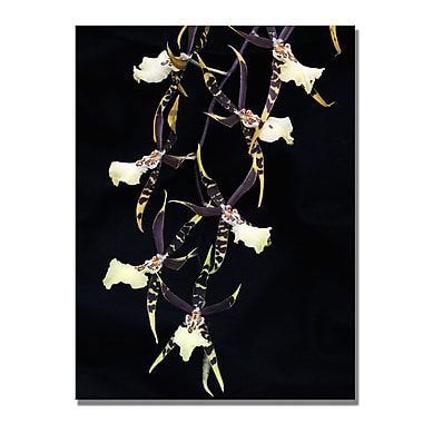 Trademark Fine Art Kurt Shaffer 'Spider Orchid on Black' Canvas Art 30x47 Inches