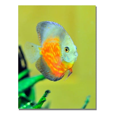 Trademark Fine Art Kurt Shaffer 'Tropical Fish Golden' Canvas Art 22x32 Inches