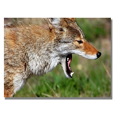 Trademark Fine Art 'Yellowstone Coyote' 22