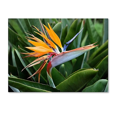 Trademark Fine Art 'Bird of Paradise' 22