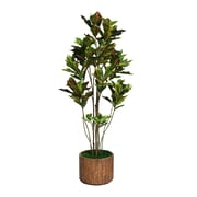 "Laura Ashley 77"" Croton Tree With Multiple Trunks in 16"" Fiberstone Planter"