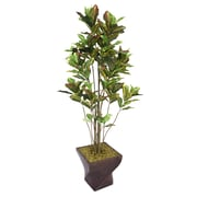 "Laura Ashley 82"" Croton Tree With Multiple Trunks in 17"" Fiberstone Planter"