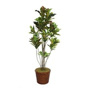 "Laura Ashley 77"" Croton Tree With Multiple Trunks in 17"" Fiberstone Planter"
