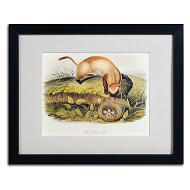 Trademark Fine Art 'Black-Footed Ferret' 16
