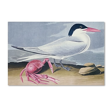 Trademark Fine Art 'Cayenne Tern' 22
