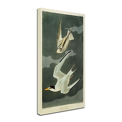 Trademark Fine Art 'Lesser Tern #44; Little Tern' 14