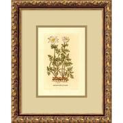 "Amanti Art ""Anemone(Tuberosa Radice)"" Framed Print Art, 15.88"" x 12.88"""