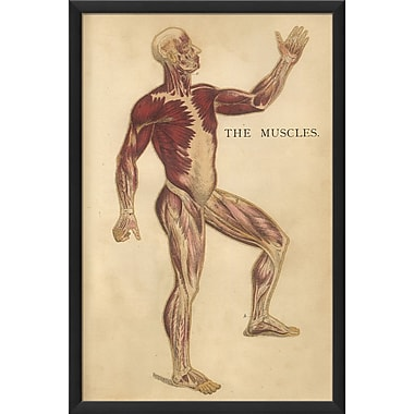 The Artwork Factory Physiology Muscles Framed Graphic Art